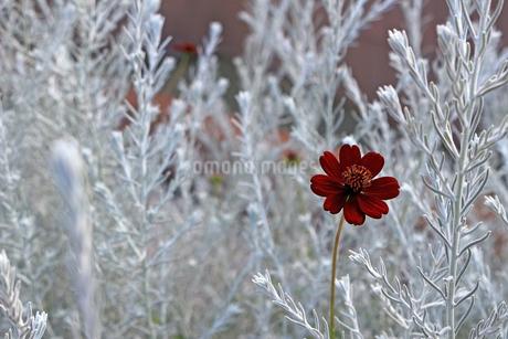 孤独なクリスマスを想像させる色彩のチョコレートコスモスの花が咲くの風景の写真素材 [FYI04295129]