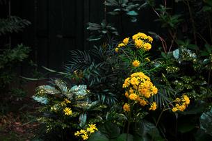 小さな菊の花が咲く静かな11月の庭園の写真素材 [FYI04295133]