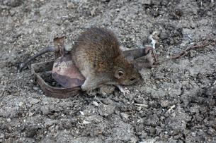 ネズミ捕り トラップの写真素材 [FYI04295137]