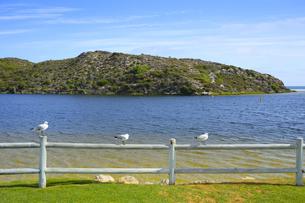 オーストラリア・西オーストラリア州にある澄んだ海面のギルダートンビーチとムーア川の交わる所にいたカモメの写真素材 [FYI04295206]