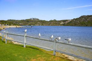 オーストラリア・西オーストラリア州にある澄んだギルダートンビーチとムーア川の交わる所にいたカモメの写真素材 [FYI04295209]