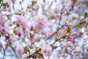 桜の写真素材 [FYI04295312]