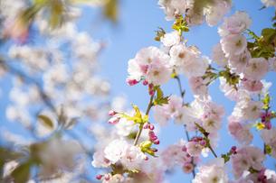 桜の写真素材 [FYI04295313]