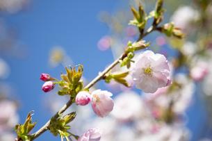 桜の写真素材 [FYI04295314]