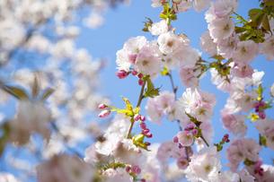 桜の写真素材 [FYI04295315]