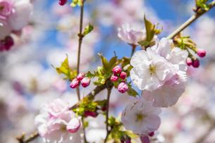 桜の写真素材 [FYI04295316]