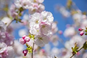 桜の写真素材 [FYI04295318]