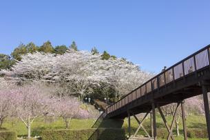 常陸風土記の丘・金龍橋と咲き誇るサクラの写真素材 [FYI04295355]