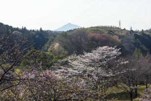 常陸風土記の丘のサクラと筑波山の写真素材 [FYI04295371]