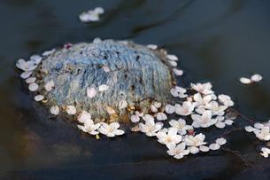 水面に浮かぶサクラの花の写真素材 [FYI04295394]