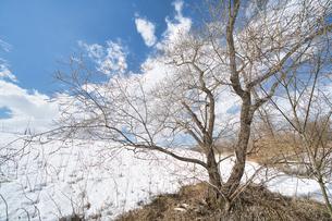 猫柳の木の写真素材 [FYI04295881]