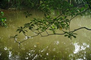 マングローブの森の写真素材 [FYI04295893]