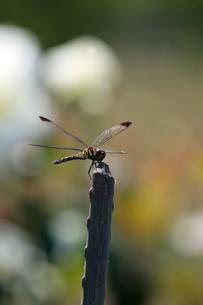 蜻蛉 トンボ 夏 昆虫 花壇 枝の写真素材 [FYI04296305]