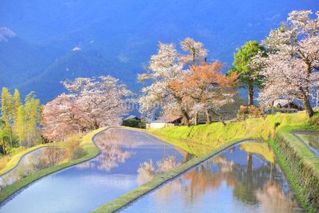 三多気の桜の写真素材 [FYI04296370]
