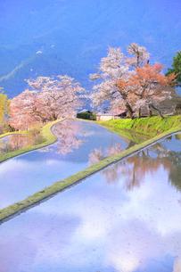 三多気の桜の写真素材 [FYI04296371]