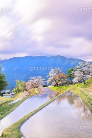 三多気の桜と朝焼け雲の写真素材 [FYI04296372]