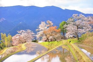 三多気の桜の写真素材 [FYI04296373]