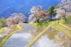 三多気の桜の写真素材 [FYI04296374]