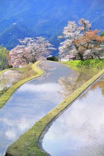 三多気の桜の写真素材 [FYI04296375]