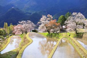 三多気の桜の写真素材 [FYI04296376]