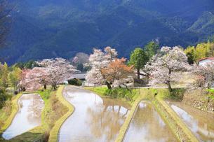三多気の桜の写真素材 [FYI04296379]