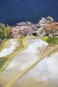 三多気の桜の写真素材 [FYI04296380]