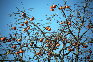 赤く熟した柿の実の写真素材 [FYI04296458]