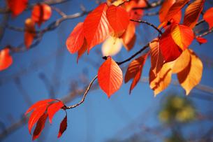 青空に映える桜の紅葉の写真素材 [FYI04296459]