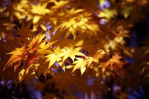 オオモミジの黄葉の写真素材 [FYI04296464]