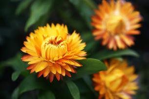 ジニアの黄赤色の花の写真素材 [FYI04296469]