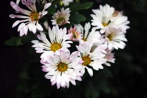 風車菊の花の写真素材 [FYI04296470]