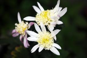 丁子咲きの寒菊の写真素材 [FYI04296471]