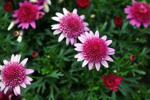 ポンポン咲きの寒菊の写真素材 [FYI04296472]