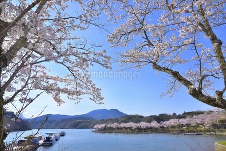 恵那峡の桜の写真素材 [FYI04296555]