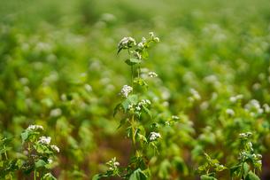 蕎麦の花の写真素材 [FYI04296753]