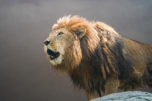 ライオンの写真素材 [FYI04296756]