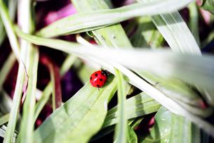赤いてんとう虫 ladybug  Hawaii  ハワイ 草むら 晴れた日 斑点 昆虫の写真素材 [FYI04296791]