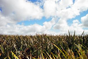 パイナップル畑 pineapple field  ハワイ 白い雲の写真素材 [FYI04296792]