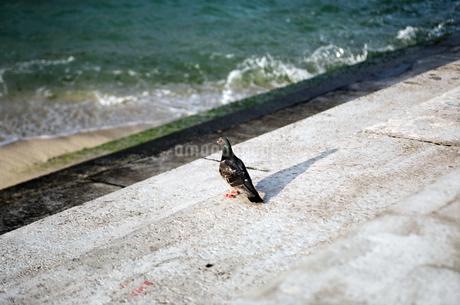 鳩  晴れ pigen の写真素材 [FYI04296794]