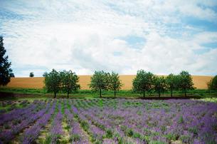 北海道  風景 ラベンダー畑 富良野  lavender  Hokkaidoの写真素材 [FYI04296795]