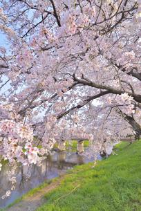 新境川提の桜 2の写真素材 [FYI04296809]