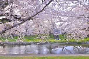 新境川提の桜 3の写真素材 [FYI04296810]