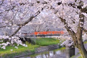 新境川提の桜 5の写真素材 [FYI04296812]