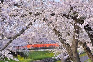 新境川提の桜 6の写真素材 [FYI04296815]