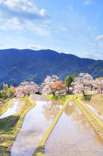 三多気の桜と空に雲の写真素材 [FYI04296872]