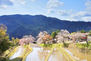 三多気の桜と空に雲の写真素材 [FYI04296873]