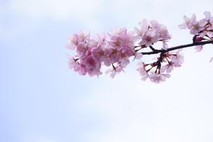 青空に咲く桜の先端の写真素材 [FYI04296903]