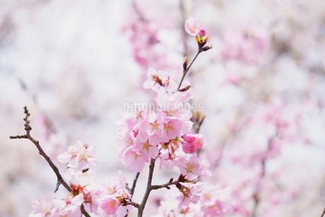 ピンク色が鮮やかな桜の写真素材 [FYI04296904]