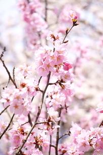 ピンク色が鮮やかな桜の写真素材 [FYI04296906]