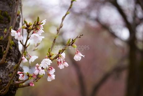 桜名所の公園に咲く桜の写真素材 [FYI04296907]